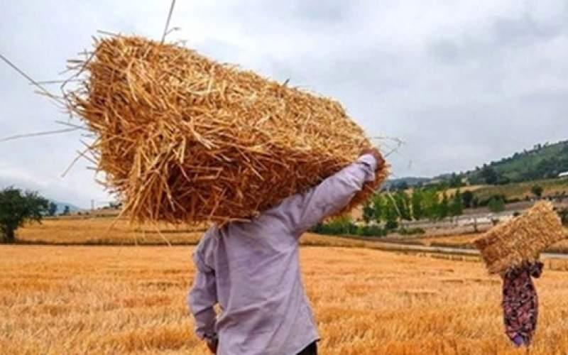 تولید گندم ۳۰ درصد کاهش یافت