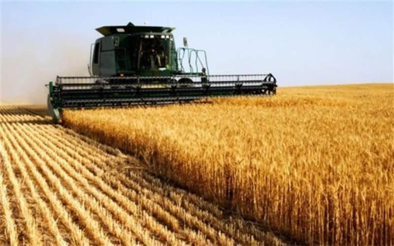 حجم زیادی از گندم تولیدی به مصرف دام رسید