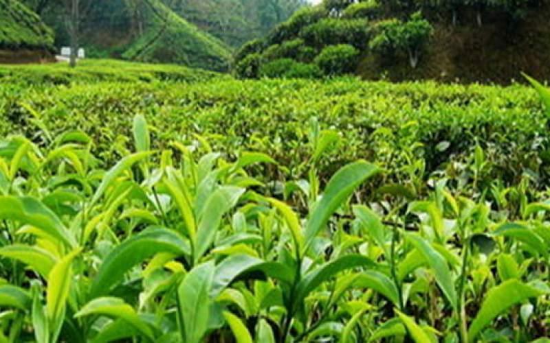 ۵۰ درصد باغات چای کشور تبدیل به ویلا شدند